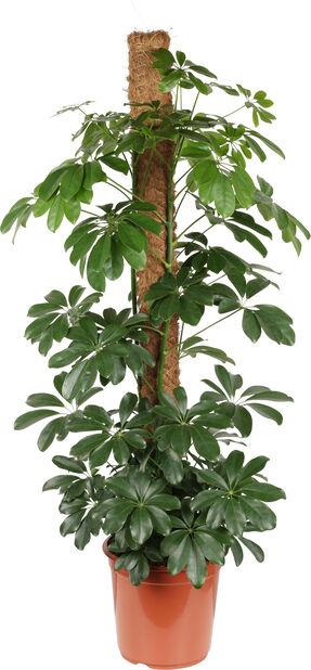 Paraplyplante på mosestokk, Høyde 120 cm, Grønn