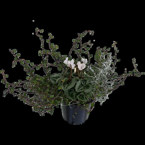 Alpefiol 'Dream', Ø14 cm, Hvit