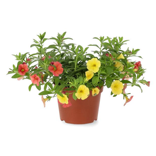 Småpetunia, Ø12 cm, Oransje
