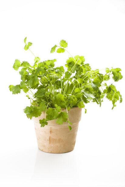 Koriander, Ø12 cm, Grønn