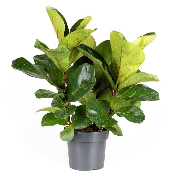 Fiolinfiken, Høyde 100 cm, Grønn