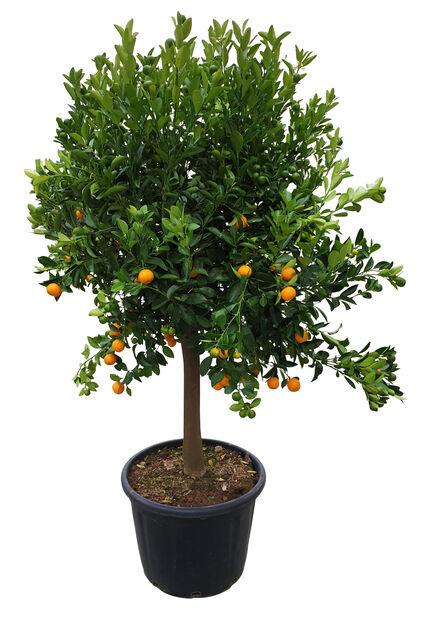 Oppstammet calamondin, Høyde 160 cm, Oransje