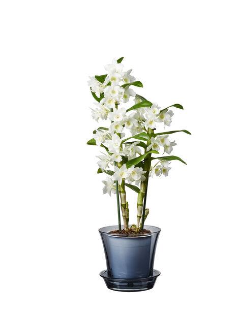 Dendrobium orkidé, Høyde 50 cm, Hvit