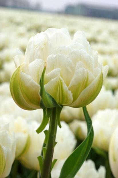Tulipan 'Ice Age', Hvit