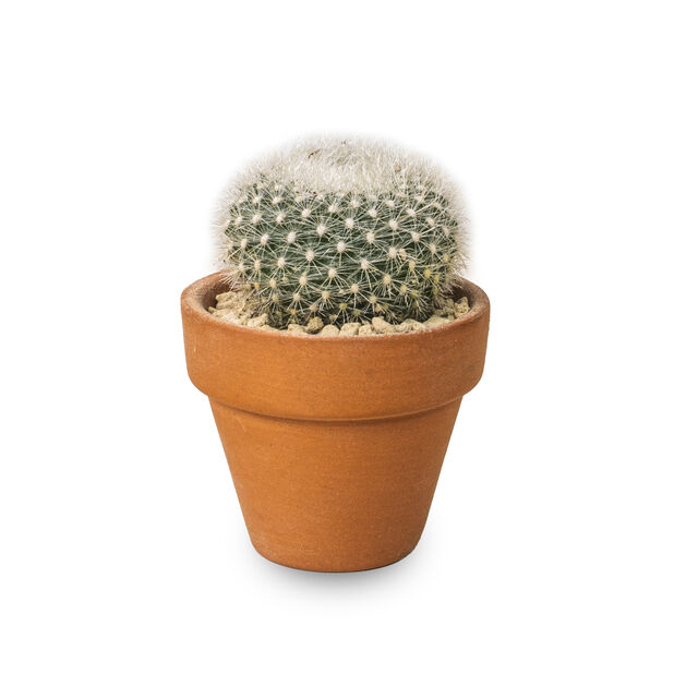 Kaktus miks i terrakottapotte, Høyde 6 cm, Grønn
