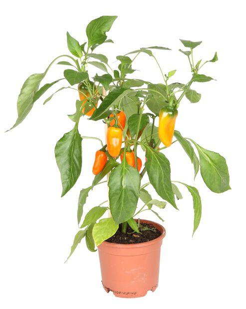 Snackspaprika, Ø14 cm, Oransje