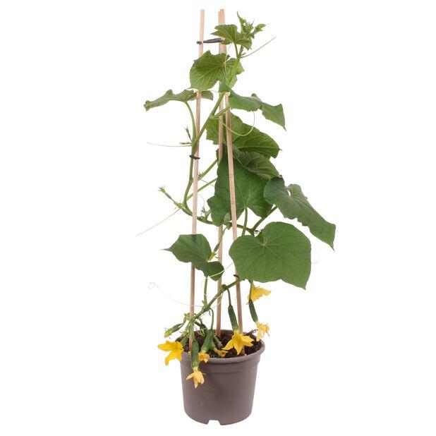 Agurk mini, Ø14 cm, Grønn