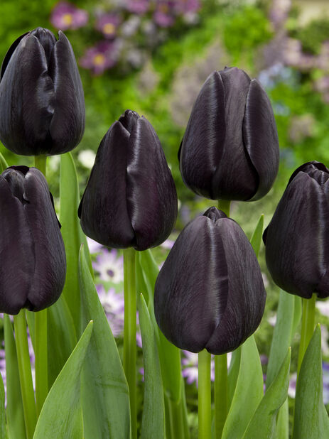 Tulipan 'Queen Of Night'