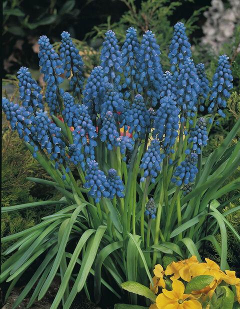 Perleblomst 'Blue', Flere farger