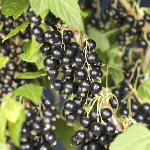 Ribes nigrum 'Öjebyn' 7,5L