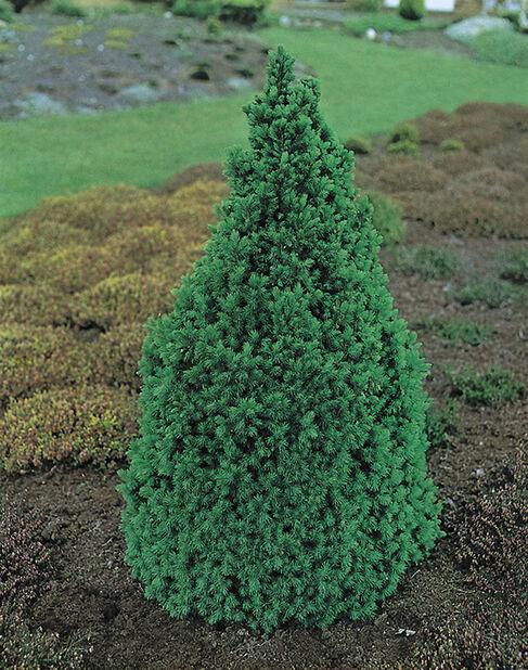 Kjeglegran 'Conica', Høyde 70-80 cm, Grønn