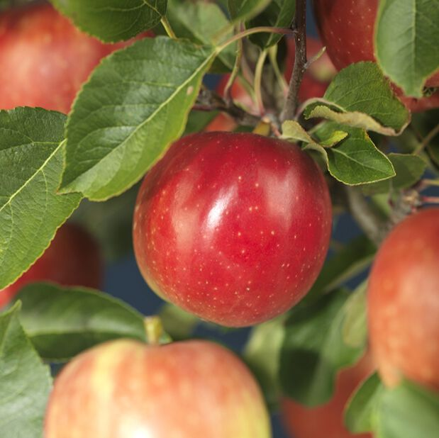 Eple 'Rød Aroma Fagravoll'