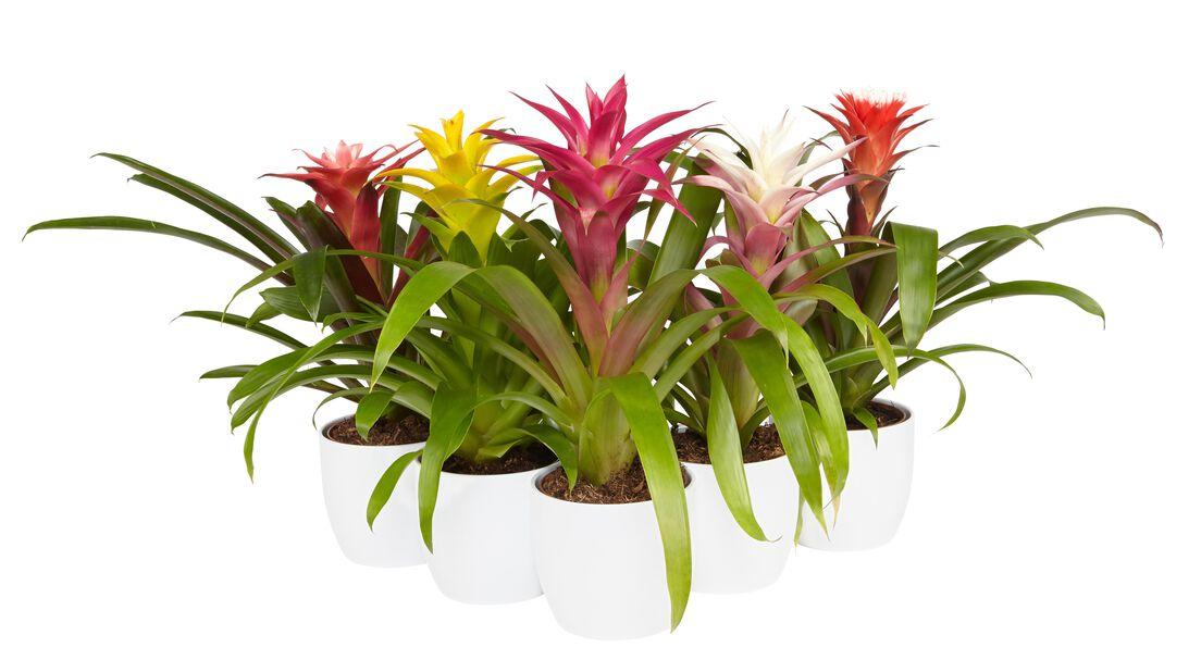 Juvelblomst lila/hvit 12cm