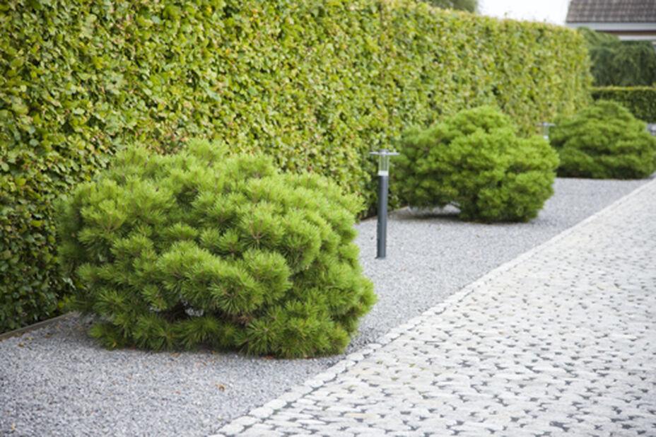 Pinus sylvestris 'Sandringham' bowl 23 cm