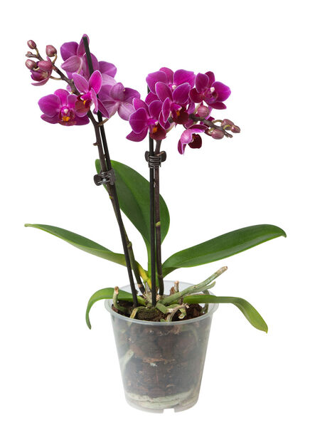 Orkidé, Høyde 25 cm, Flere farger