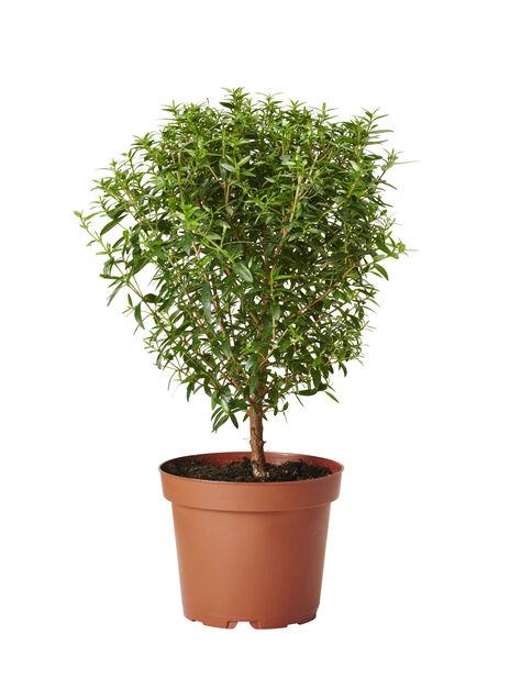 Brudemyrt, Høyde 30 cm, Grønn