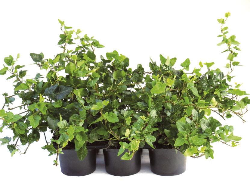 Eføy, Høyde 10 cm, Grønn