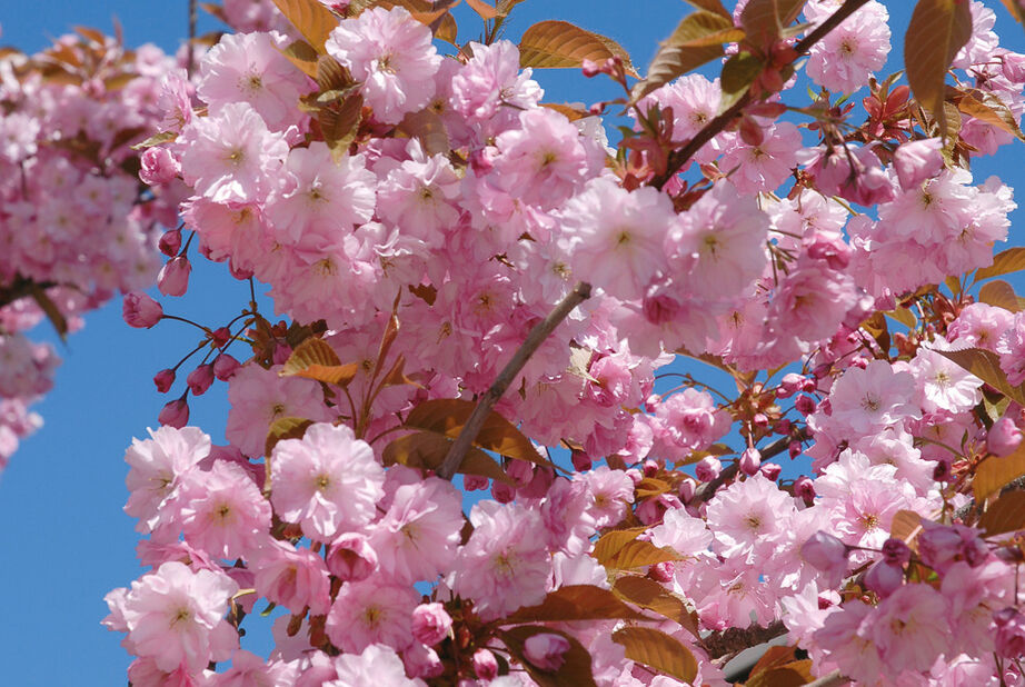 Japankirsebær 'Kanzan', Høyde 140-160 cm, Rosa