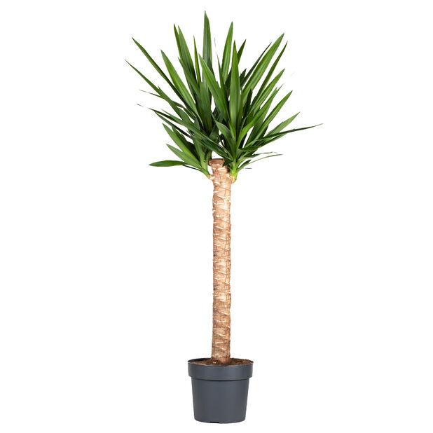 Yucca, Høyde 170 cm, Grønn