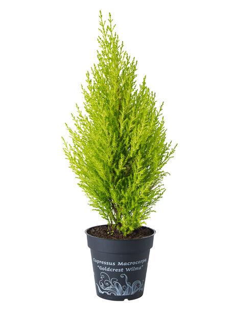 Sitronsypress 'Goldcrest Wilma', Høyde 25 cm, Grønn