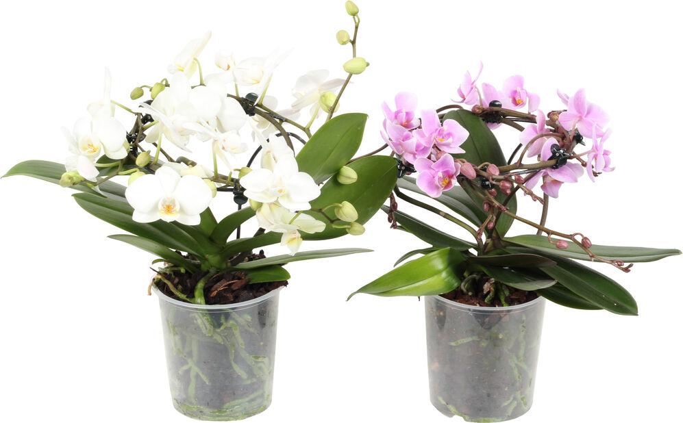 Orkidé 'Angels', Høyde 30 cm, Flere farger