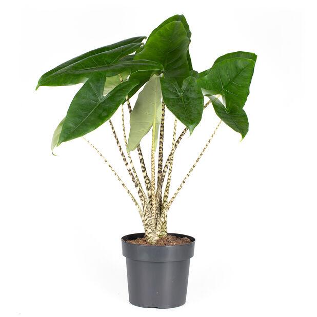 Alocasia 'Zebrina', Høyde 70 cm, Grønn