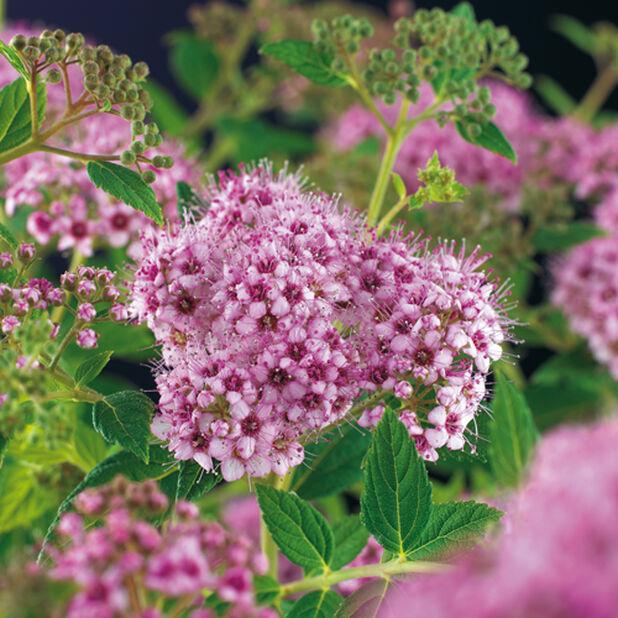 Japanspirea, Høyde 40 cm, Rosa
