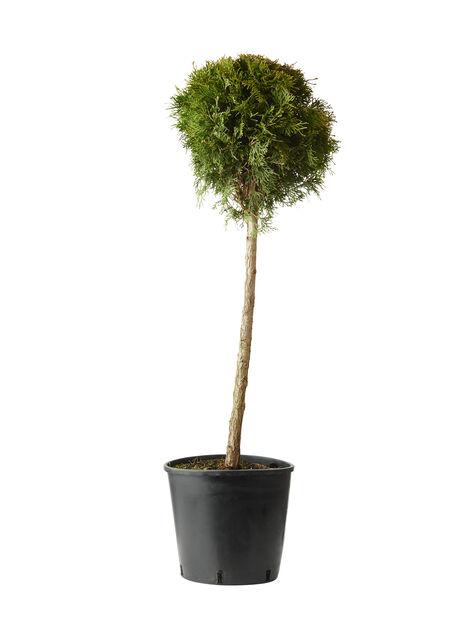 Tuja 'Smaragd' Ball, Høyde 100 cm, Grønn