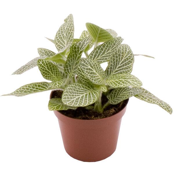 Fittonia 'White' mini, Høyde 8 cm, Hvit