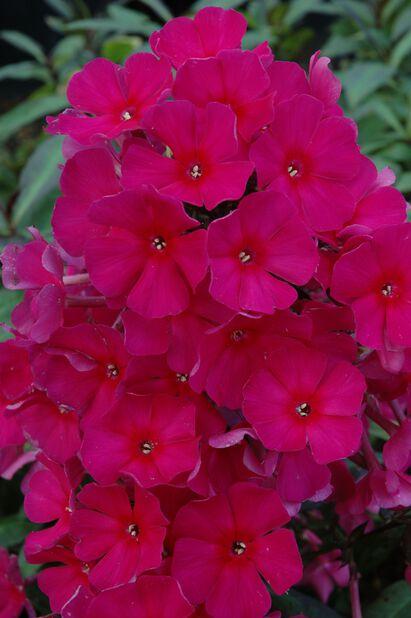 Høstfloks, Høyde 15 cm, Rosa