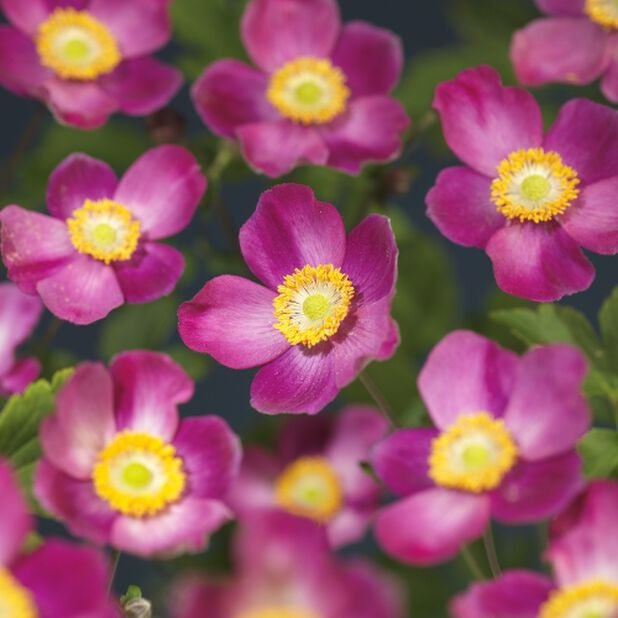 Høstanemone 'Splendens', Ø11 cm, Rosa
