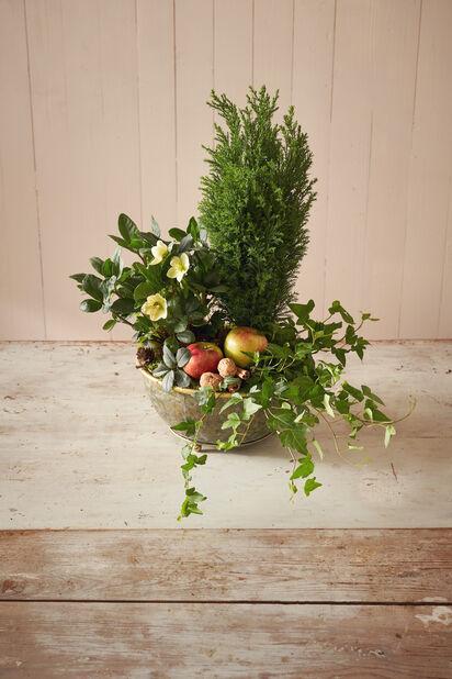 Edelsypress 'Ellwoodii' , Høyde 20 cm, Blå