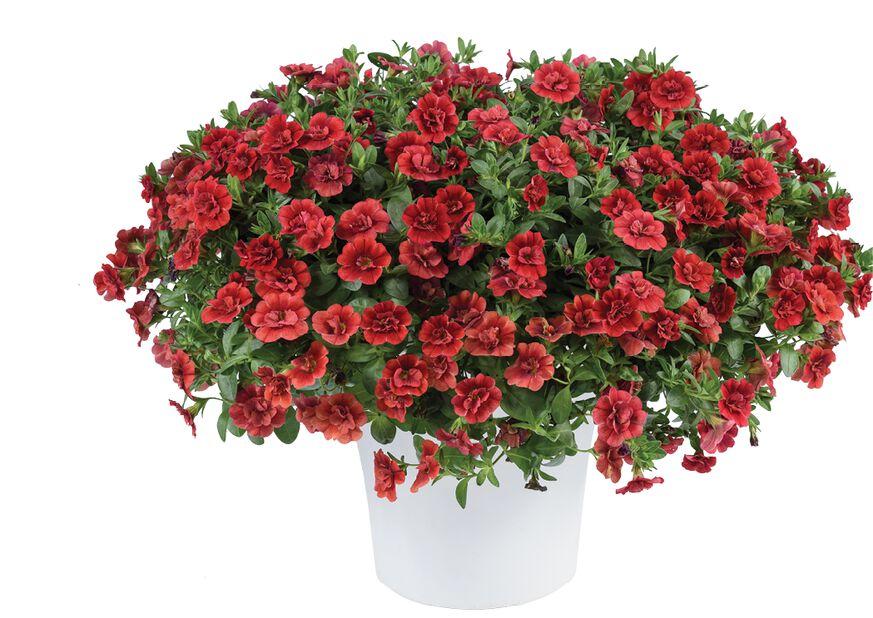 Småpetunia med fylte blomster, Ø12 cm, Rosa