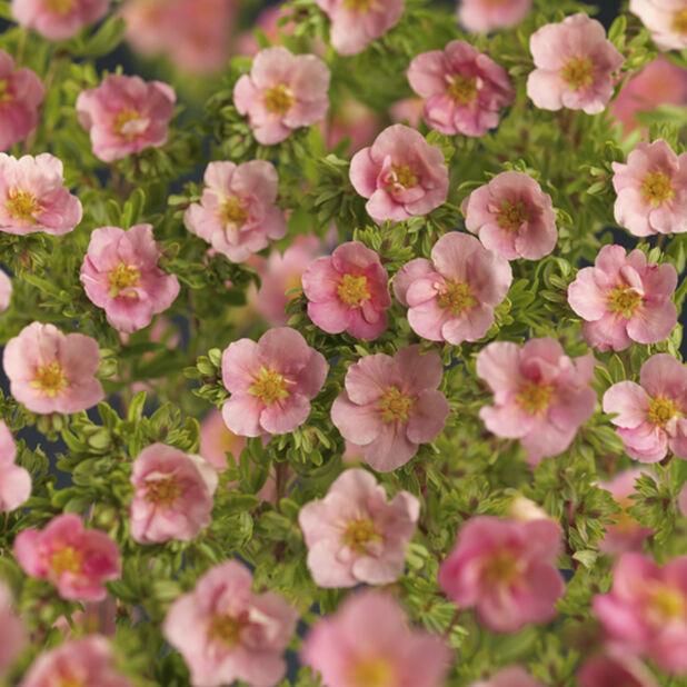Buskmure 'Pink Beauty', Ø22 cm, Rosa