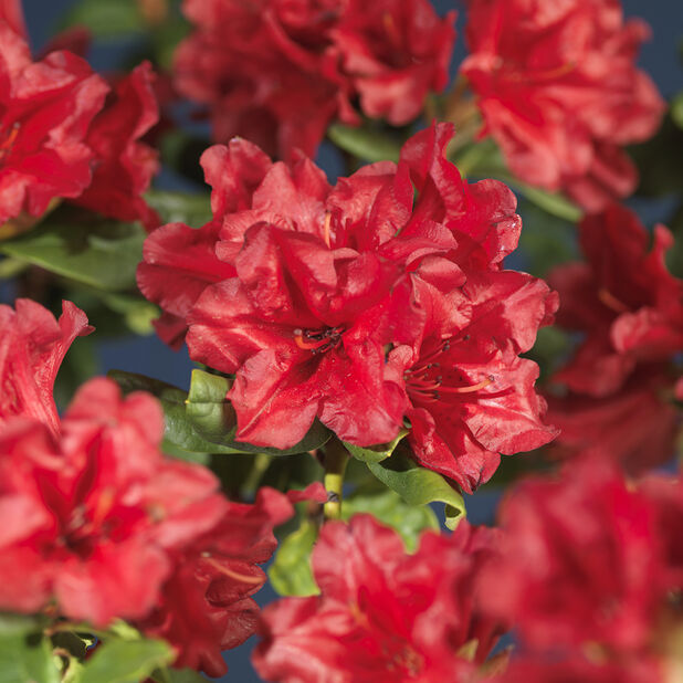 Rododendron 'Scarlet Wonder', Ø17 cm, Rød