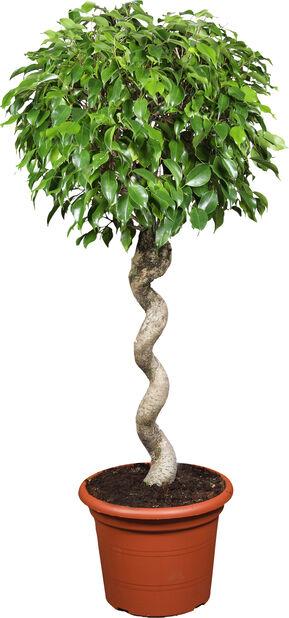 Ficus 'Wintergreen', Høyde 135 cm, Grønn
