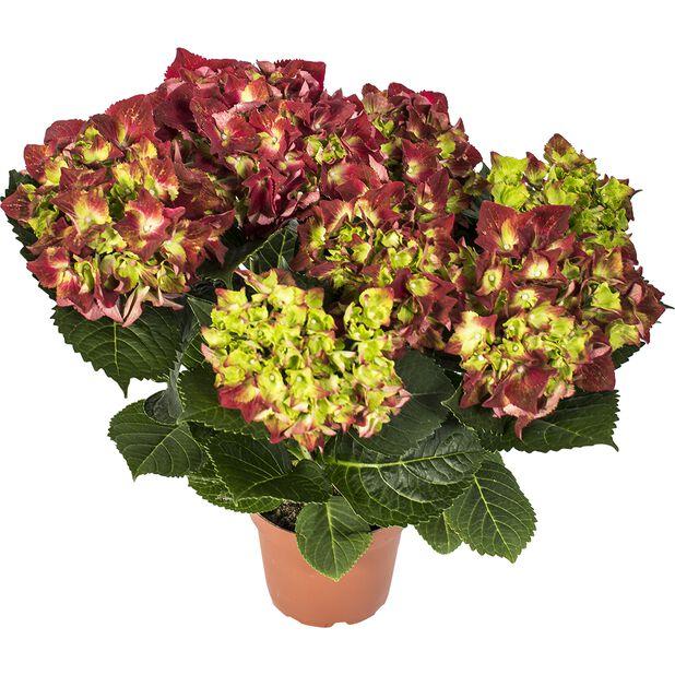 Hortensia, Høyde 35 cm, Rød