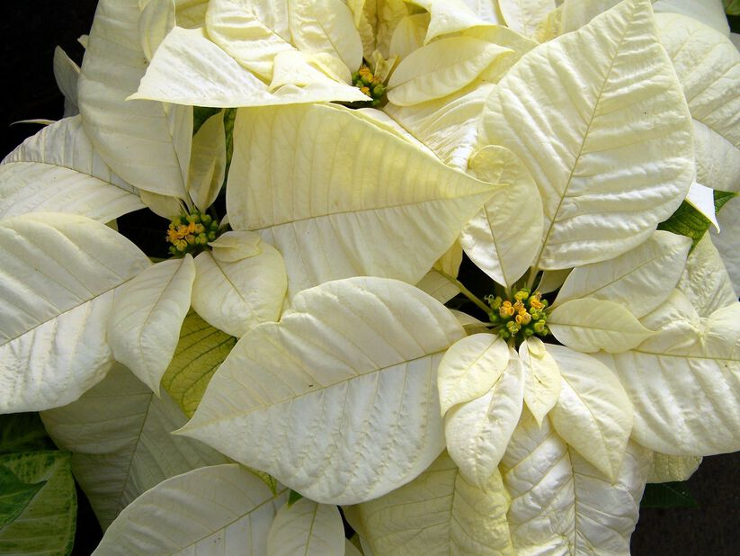 Julestjerne flergreinet hvit15 cm