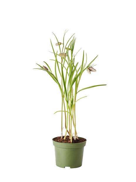 Rutelilje, Ø12 cm, Burgunder