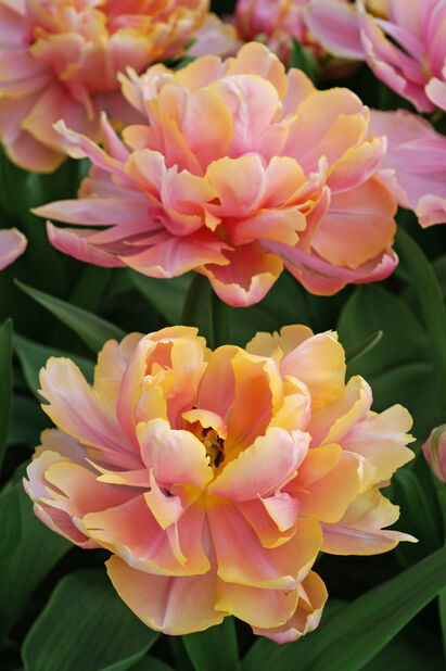Tulipan 'Pink Star', Rosa