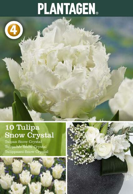 Tulipan 'Snow Crystal', Hvit