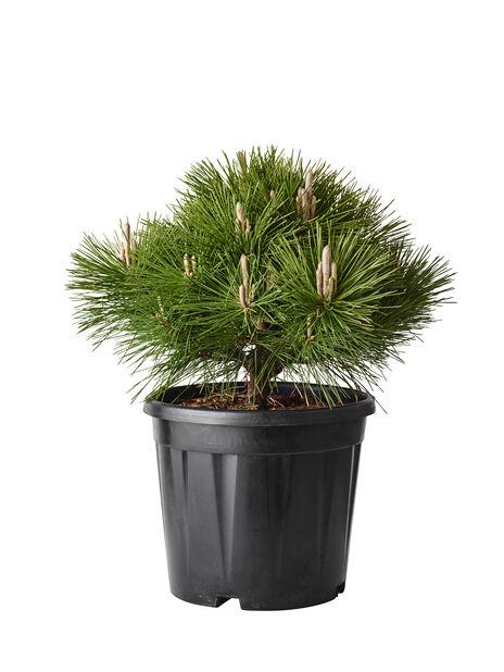 Svartfuru 'Oregon Green', Høyde 80 cm, Grønn