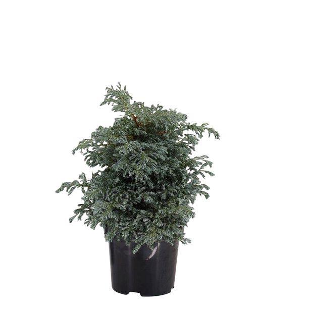 Ertesypress 'Bolevard', Ø19 cm, Blå