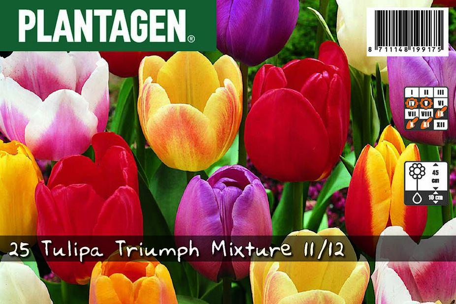 Triumph-tulipan