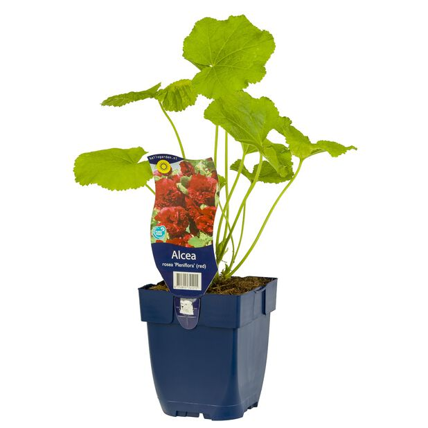 Stokkrose 'Pleniflora' (rød), Ø11 cm, Rød