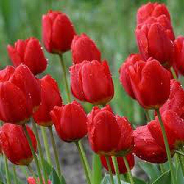 Darwin hybrid tulipan 'Red Impression' EKO, Rød