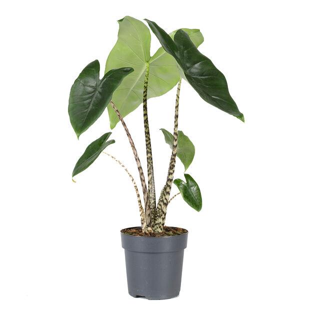Alocasia 'Zebrina', Høyde 35 cm, Grønn