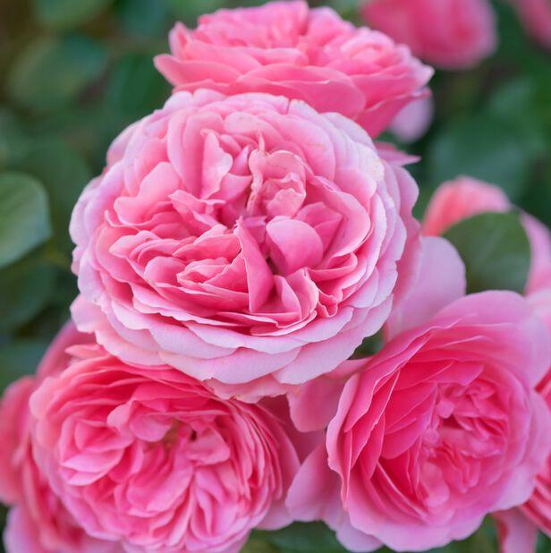 Klaserose 'Leonardo da Vinci'®, Ø27 cm, Rosa