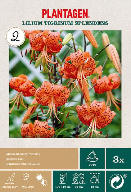 Asiatiske lilje 'Twinkle Sunny', Oransje