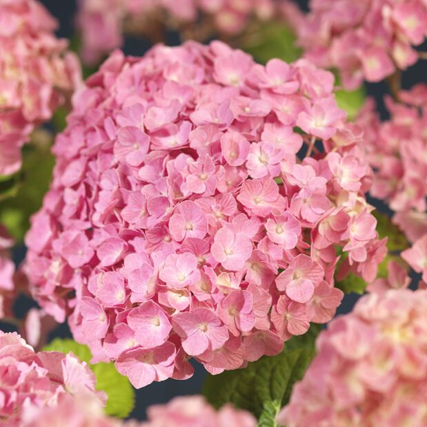 Hagehortensia, rosa